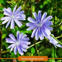 بذر کاسنی آذر سبزینه
