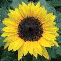 بذر گل آفتابگردان زینتی پا متوسط گلریز زرد