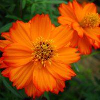 بذر ستاره ای پابلند نارنجی آذر سبزینه