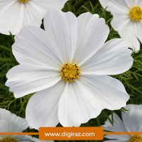 بذر ستاره ای پابلند سفید آذر سبزینه